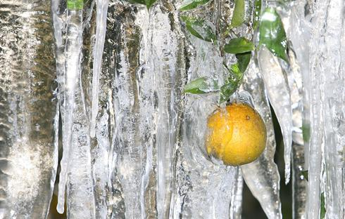 Frosty florida sets record low temperatures four winds 10 truth winds - Protecting fruit trees in winter ...
